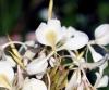 Hedychium flavescens Carey ex Roscoe.