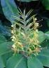 Hedychium gardnerianum Sheppard ex Ker Gawl.