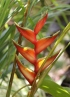 Inflorescence Héiconia bihai. Heliconia bihai L.