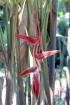 Heliconia vellerigera.