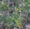 Croton bonplandianus. Fleurs et fruits.