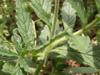 Herbe à papillons, Heliotropium indicum