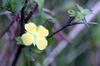 Ludwigia octovalvis (Jacq.) P.H.Raven