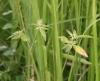 Herbe de Lait Euphorbe hétérophylle Euphorbia heterophylla
