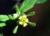 Sigesbeckia orientalis L