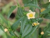 Malvastrum coromandelianum (L.) Garcke