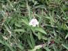 Herbe le rail - Asystasia gangetica