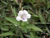 Fleur : Herbe le rail - Asystasia gangetica