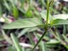 Feuilles : Herbe le rail - Asystasia gangetica