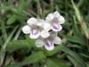 Fleurs : Herbe le rail - Asystasia gangetica