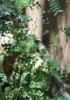 Cyanthillium cinereum (L.) H.Rob. Herbe le rhum. Herbe goni.