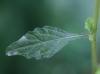 Cyanthillium cinereum (L.) H.Rob. Feuille.