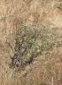 Herbe tourterelle - Trichodesma zeylanicum (Burm. f.) R. Br.
