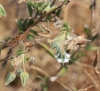 Herbe tourterelle - Trichodesma zeylanicum