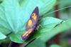Henotesia narcissus borbonica. Papillon endémique de La Réunion