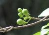 Hibiscus Boryanus. Fruits.