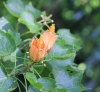 Hibiscus columnaris Cav