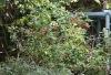 Malvaviscus arboreus, Hibiscus dormant, Hibiscus piment