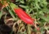Malvaviscus arboreus Cav