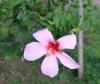 Hibiscus Mandrinette