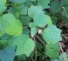 Hibiscus ovalifolius (Forssk.) Vahl