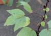 Hibiscus sabdariffa L. Feuille.