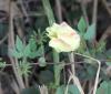 Hibiscus surattensis L