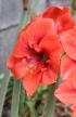 Hippeastrum, à fleurs rouges