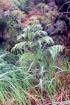 Histiopteris incisa (Thunb.) J. Sm