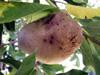 Dioscorea bulbifera L