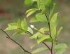 Holarrhena pubescens Wall. ex G.Don.
