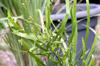 Plante ruban. Muehlenbeckia platyclada.