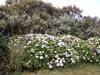Hortensia, rose du Japon. Hydrangea macrophylla