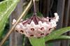 Hoya carnosa (L. f.) R. Br