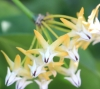 Fleur de porcelaine