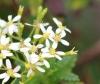 Hubertia ambavilla Bory