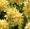 Hubertia tomentosa Bory var. conyzoides (Bory) C. Jeffrey
