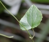 Humbertacalia tomentosa. Liane blanche.