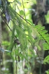 Huperzia squarrosa (G. Forst.) Trevis.