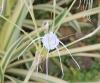 Lys araignée au feuillage panaché