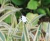 Hymenocallis littoralis Variegata.
