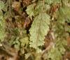 Hymenophyllum capillare Desv.