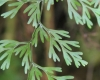 Hymenophyllum inaequale (Poir.) Desv