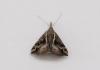 Hypena varialis. Papillon de La Réunion.