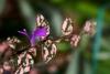 Plante aux éphélides