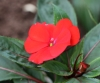 Impatiens walleriana Hook. f.