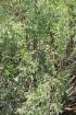 Indigofera ammoxylum (DC.) Polhill. Bois de sable.
