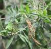 Indigofera ammoxylum (DC.) Polhill Bois de sable