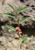 Indigofera linifolia (L. f.) Retz.