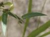Ipomoea eriocarpa R. Br.